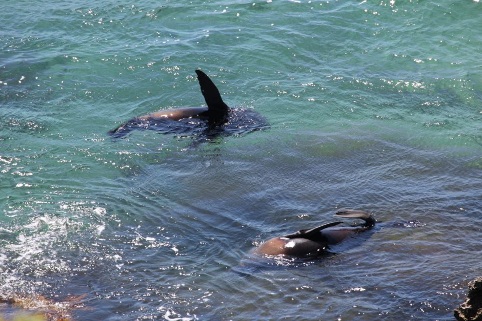 Seals in the water at Rottnest Island, Australia