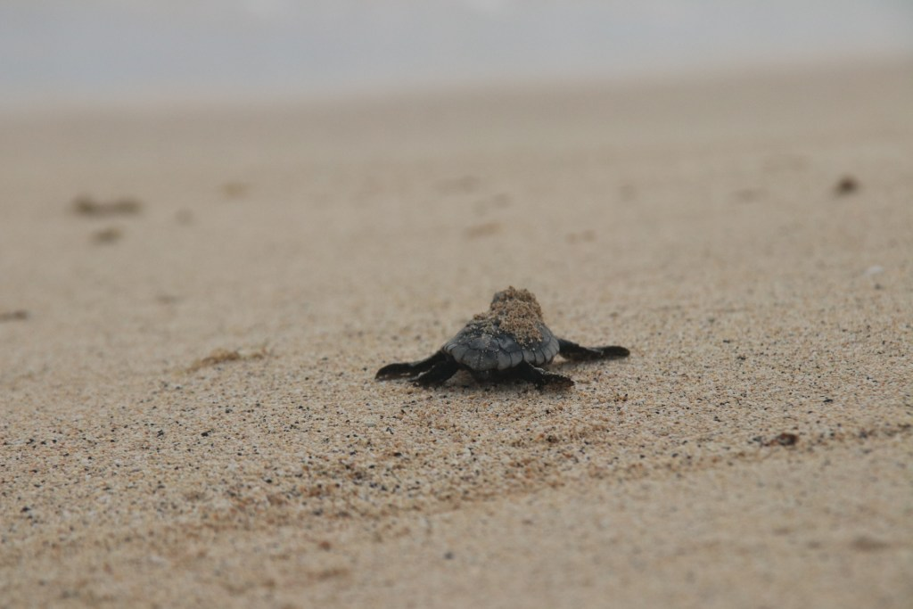 A baby turtle on the sand in Sal, Cape Verde