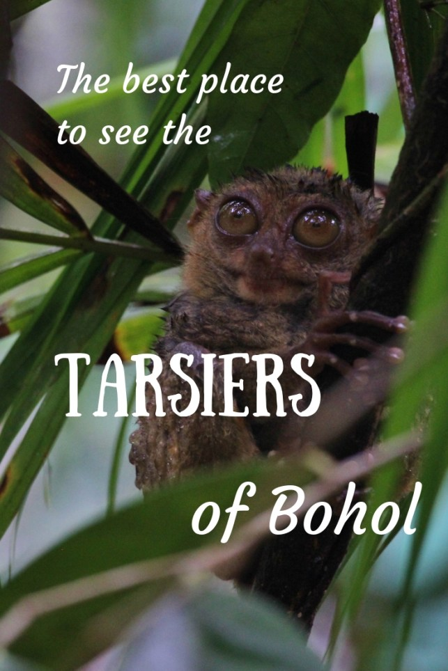The best place to see the tarsiers of Bohol, in the Philippines