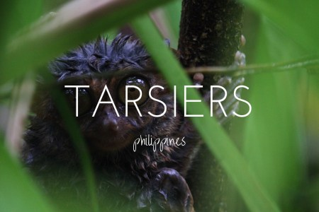 The best place to see the tarsiers of Bohol in the Philippines
