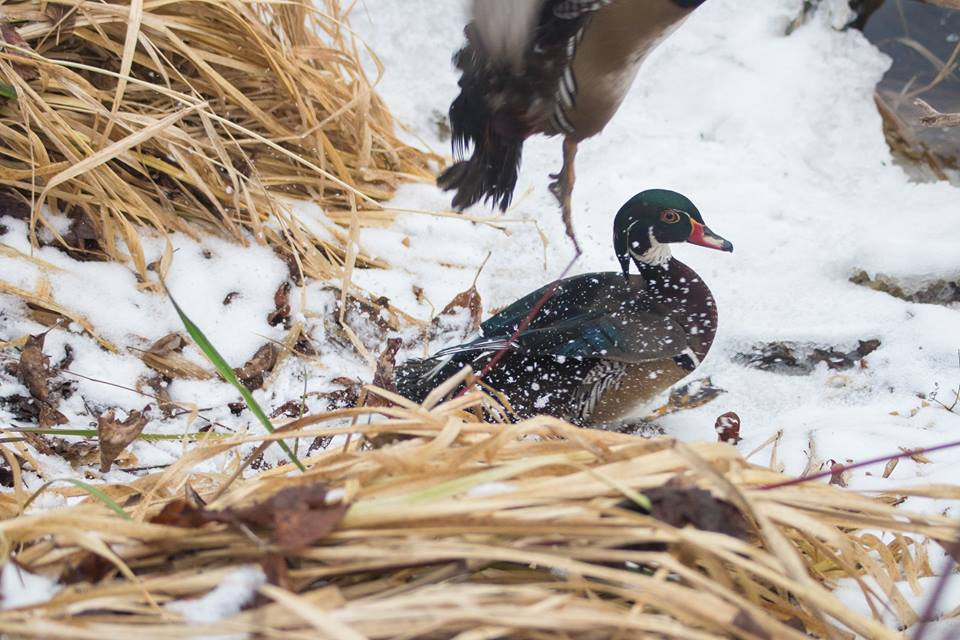 A woodduck being released by Sandy Pines Wildlife Centre, Ontario, Canada