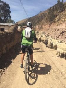 da haben die Schafe Vorfahrt