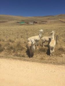 Alpacas im Nationalpark de Junin