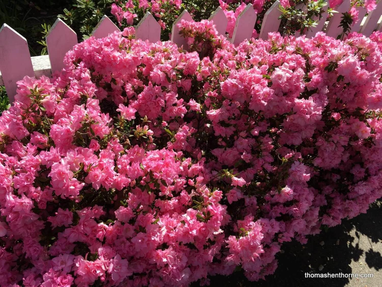 azaleas in gerstle park