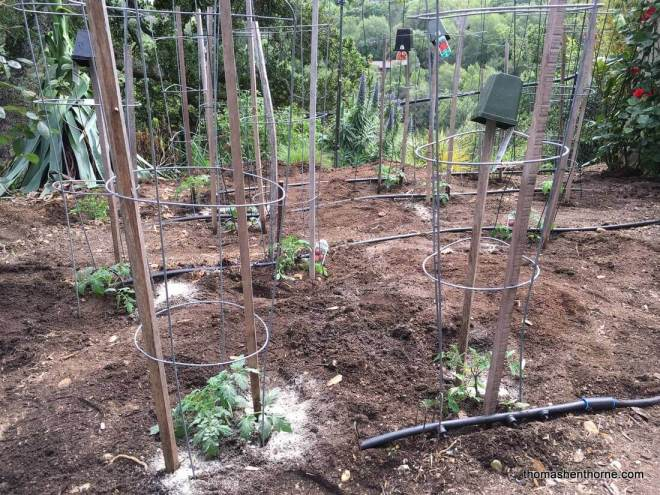 newly planted tomatoes