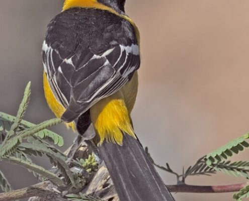 Photo of Hooded Oriole Courtesy Wikipedia