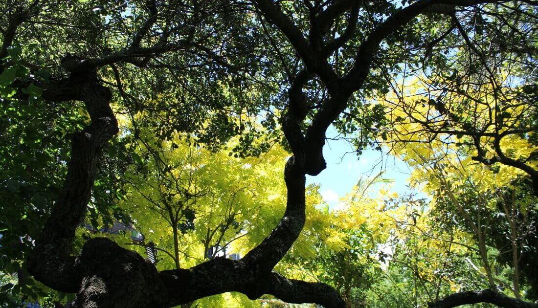 Photo of Tree Canopy Oaks and Rubinia