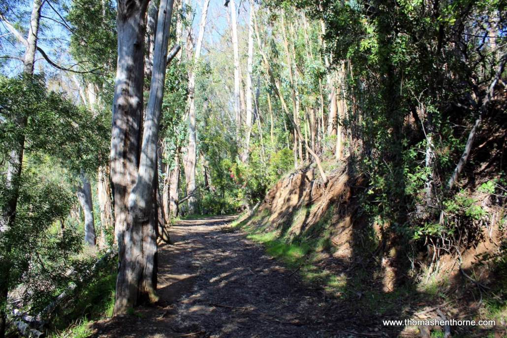 Photo of trail with eucalyptus