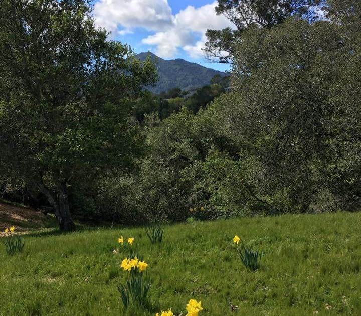 Photo of Daffodils and Mt. Tam in background