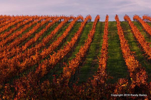 Carneros Vines