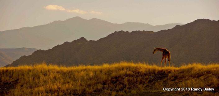 Living Desert Baby Giraffe