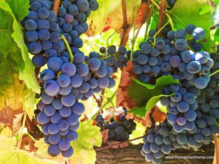 grapes at 390 Fawn Drive in San Anselmo