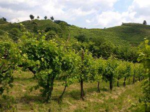 La vigne Giardino des frères Adami.