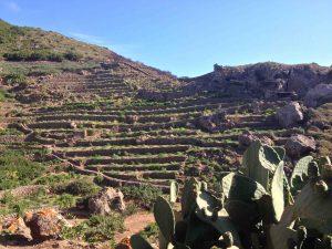 Ces terrasses ont été colonisées par la culture des câpres, plus rémunératrice que le raisin.