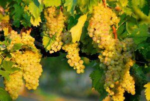 La Vernaccia, raisins dorés et grappes généreuses.