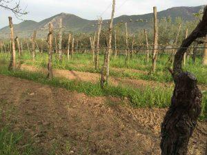 A Masseria Felicia, de vieux plants de piedirosso pré-phylloxériques...