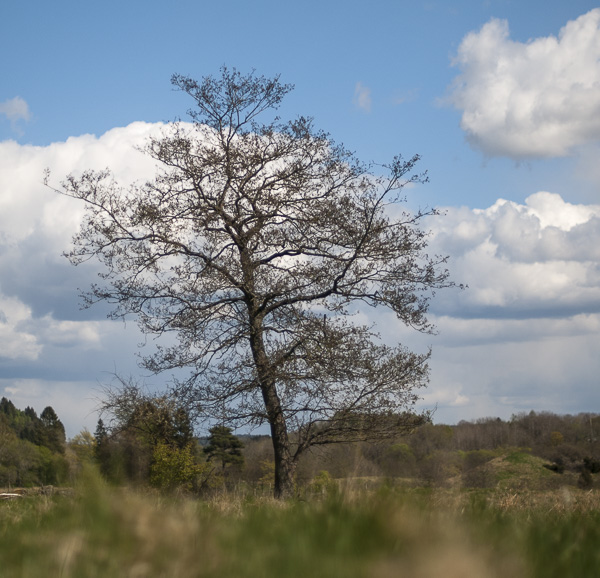 trädet_svartvitt_1