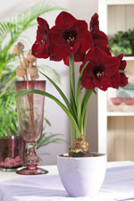 Plant Amaryllis in pots for stunning indoor flowers