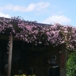 May colours - Lovely Clematis at Thorntree