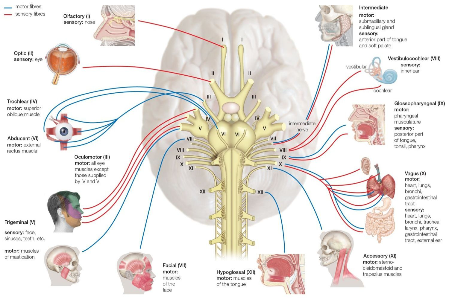 Names Functions And Locations Of Cranial Nerves