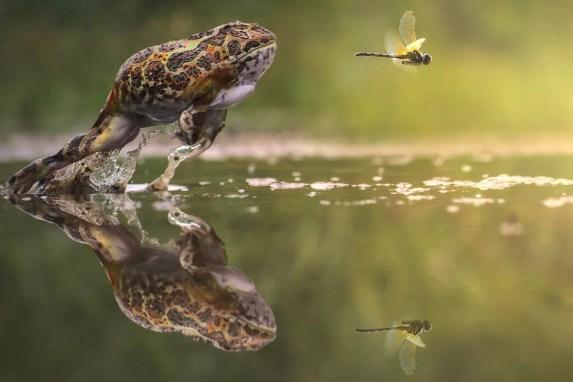 Um sapo salta da água na esperança de fazer uma refeição com um inseto.