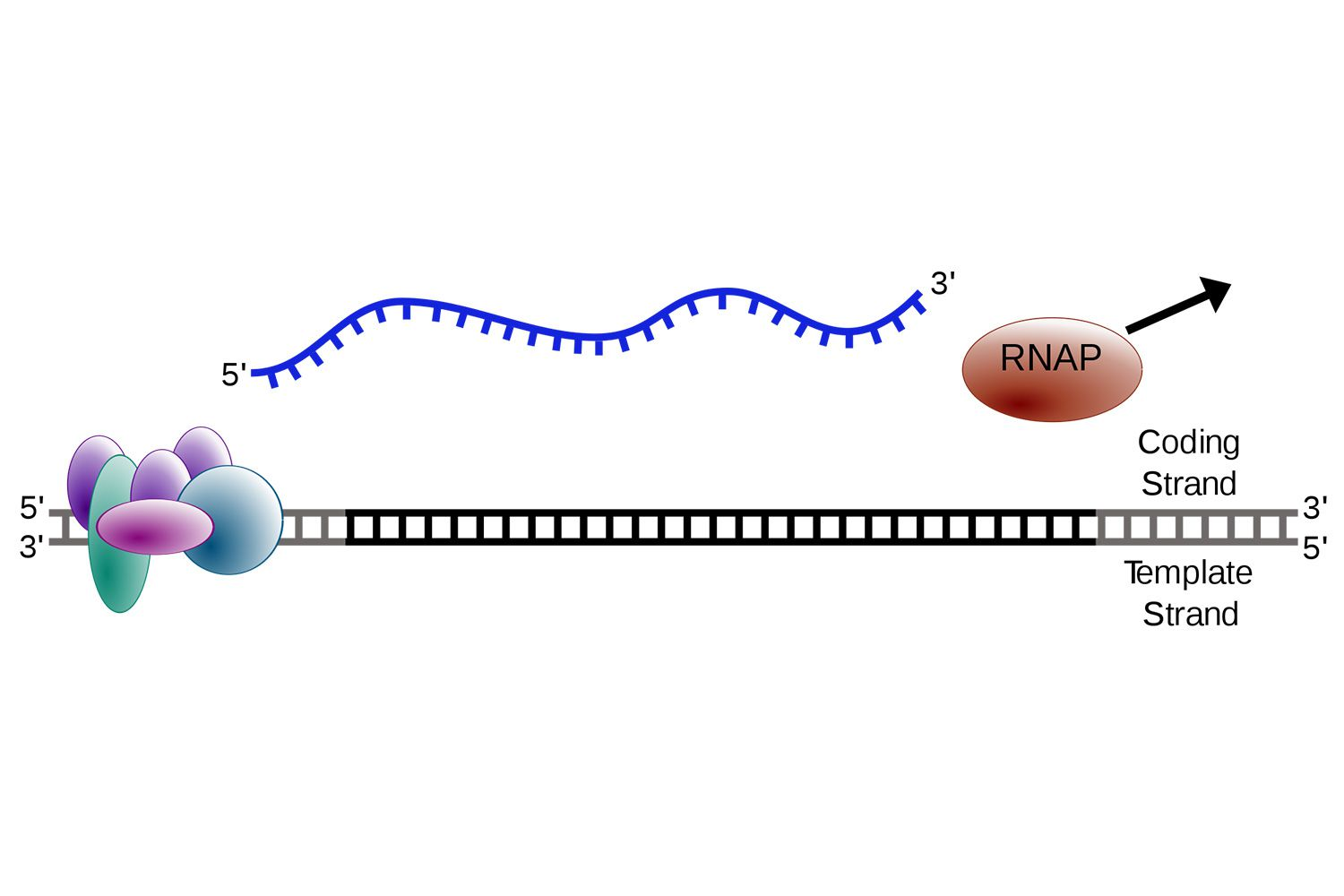 Steps Of Transcription From Dna To Rna