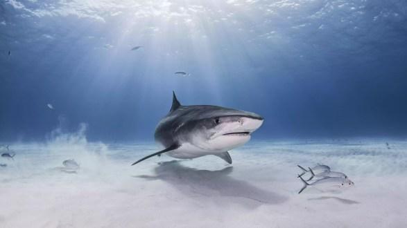 Vista subaquática, de, tubarão tigre, nassau, bahamas
