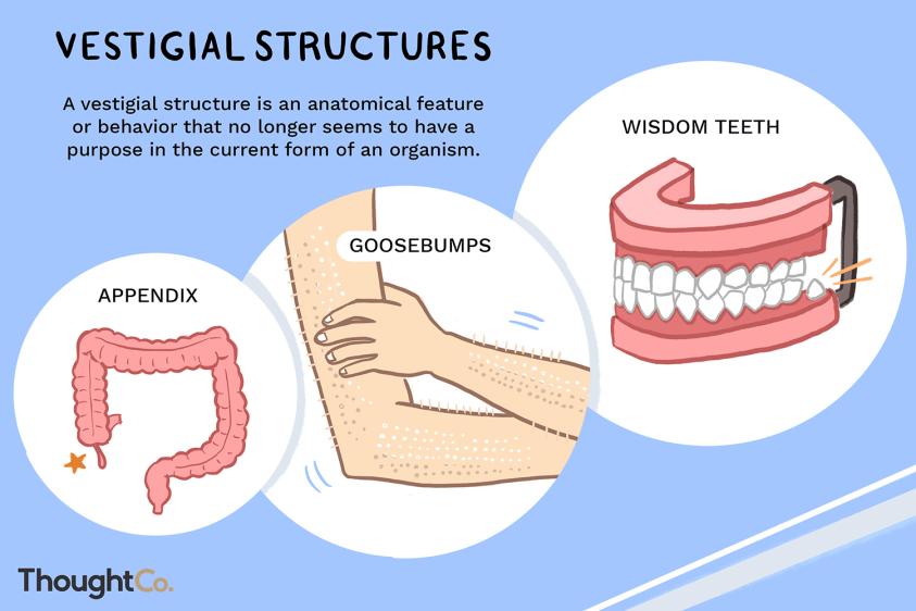 Vestigial Structures Definition Biology - slideshare