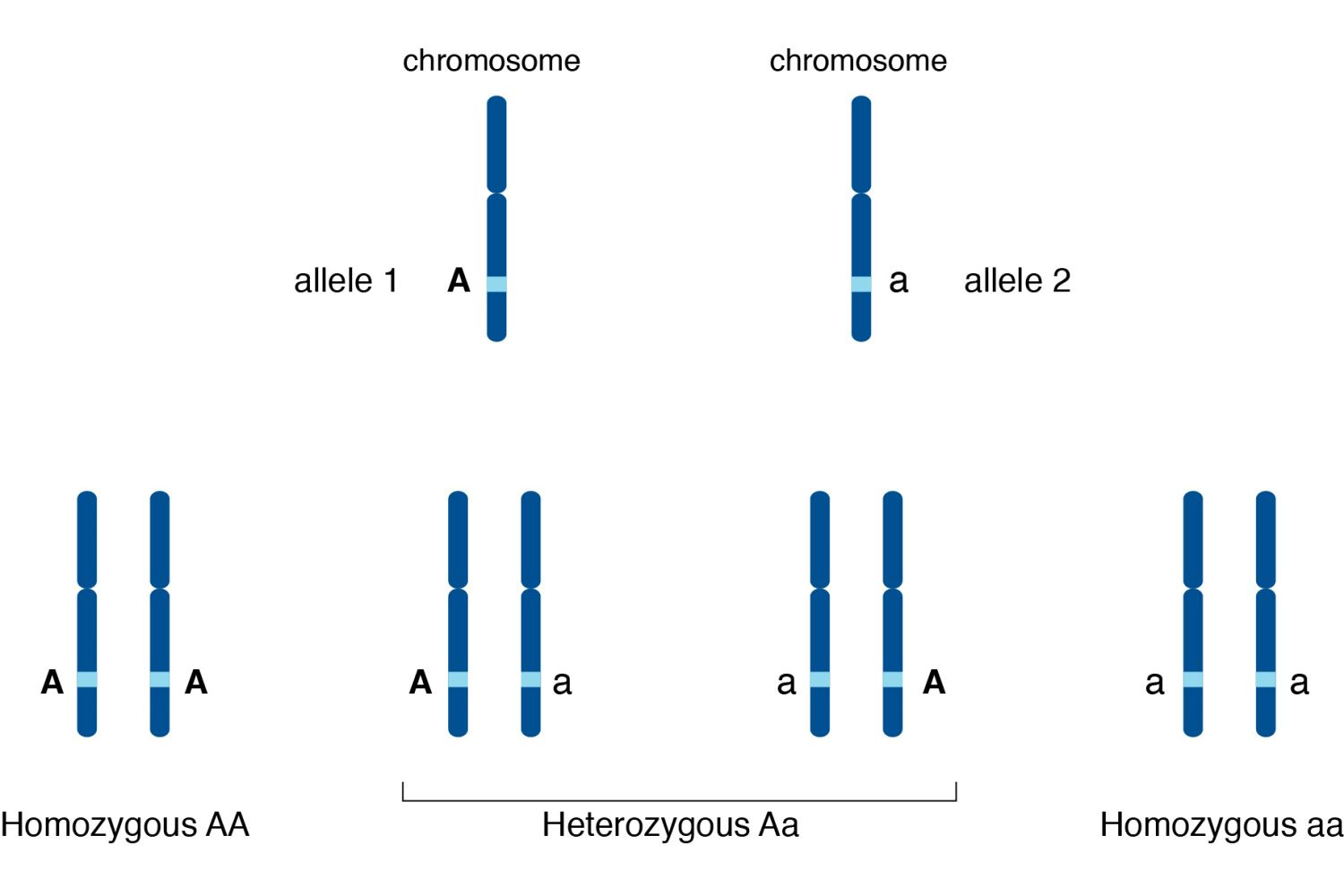How Do Alleles Determine Traits In Genetics