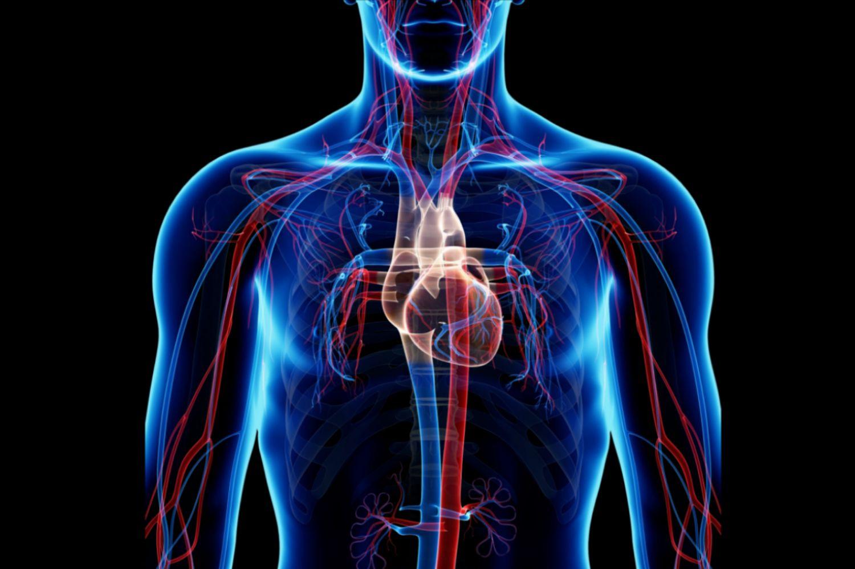 Circulatory System Pulmonary And Systemic Circuits