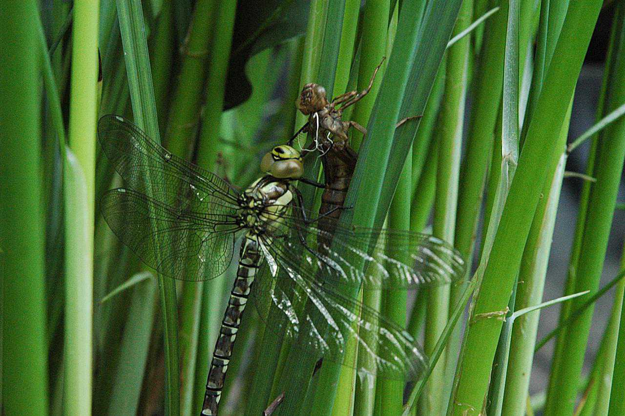 Dragonfly Life Cycle
