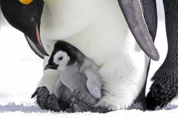 Pintainho do pinguim de imperador nos pés do pai.