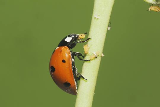 Seven-spotted Ladybug (Coccinella septempunctata) adult eating Aphids