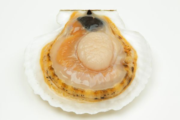 Scallop Facts: Habitat, Behavior, Diet