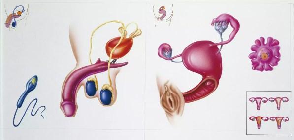 Ilustração, mostrando, seção transversal, de, macho fêmea, órgão reprodutivo, órgãos