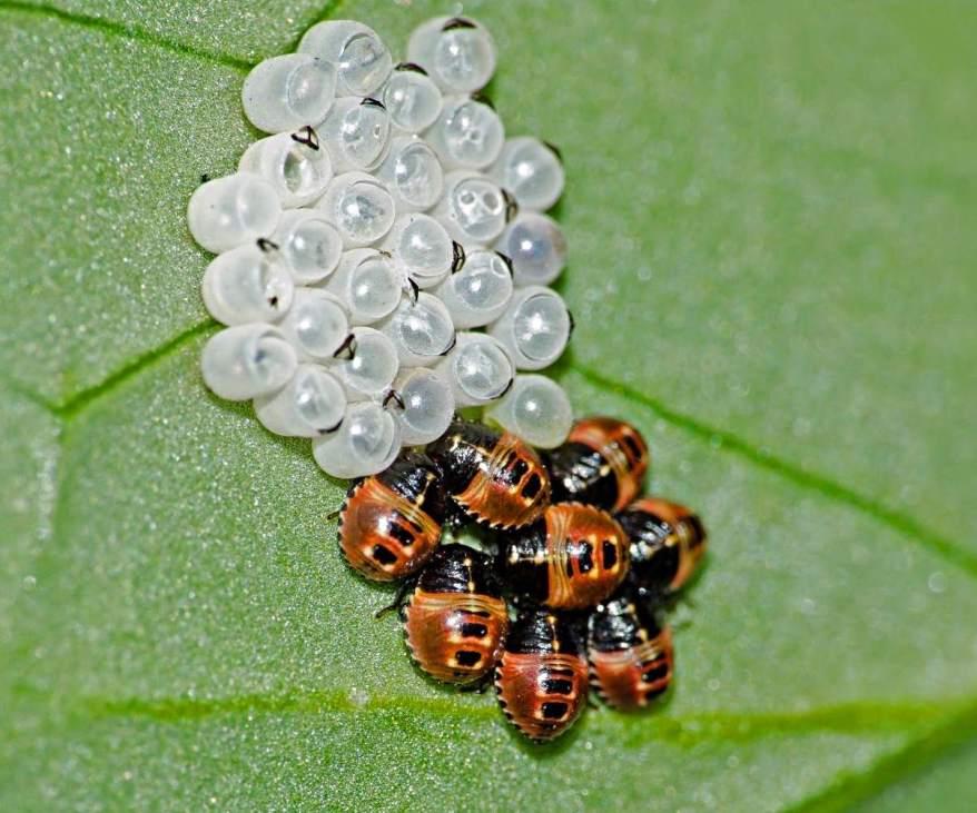 Ladybug larva on leaf