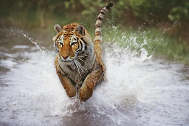 Os tigres, como todos os gatos, são animais que exibem habilidades de movimento altamente desenvolvidas.