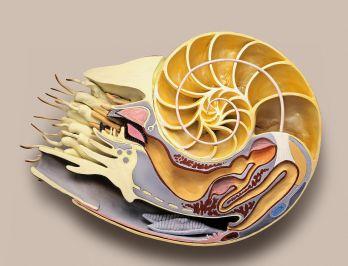 Nautilus Facts: Habitat, Behavior, Diet