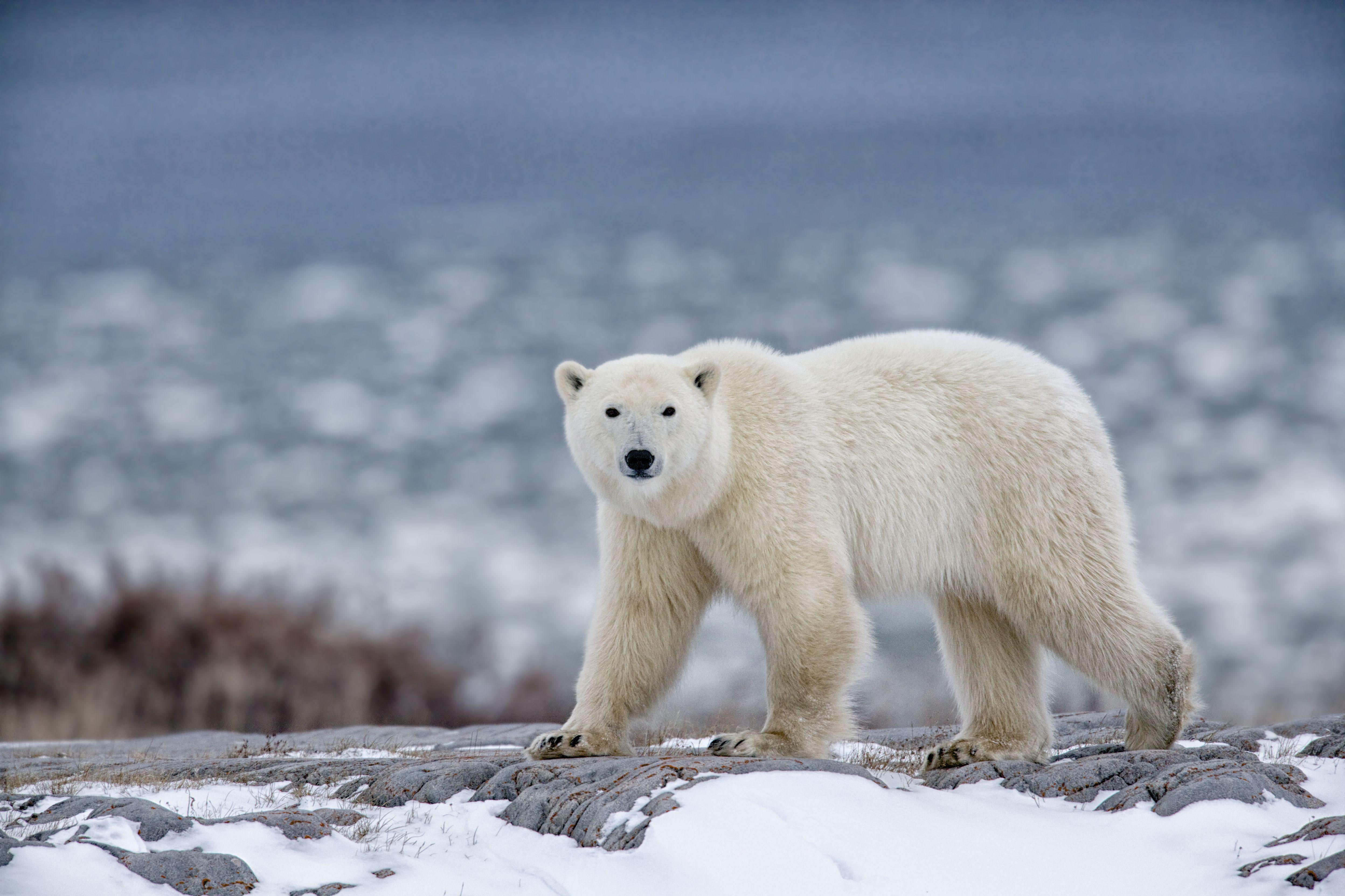 Polar Bear Facts Behaviort Habitat And More