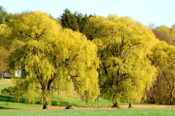 Os salgueiros-chorões (imagem) são incrivelmente graciosos.  Eles são grandes demais para um pequeno quintal.