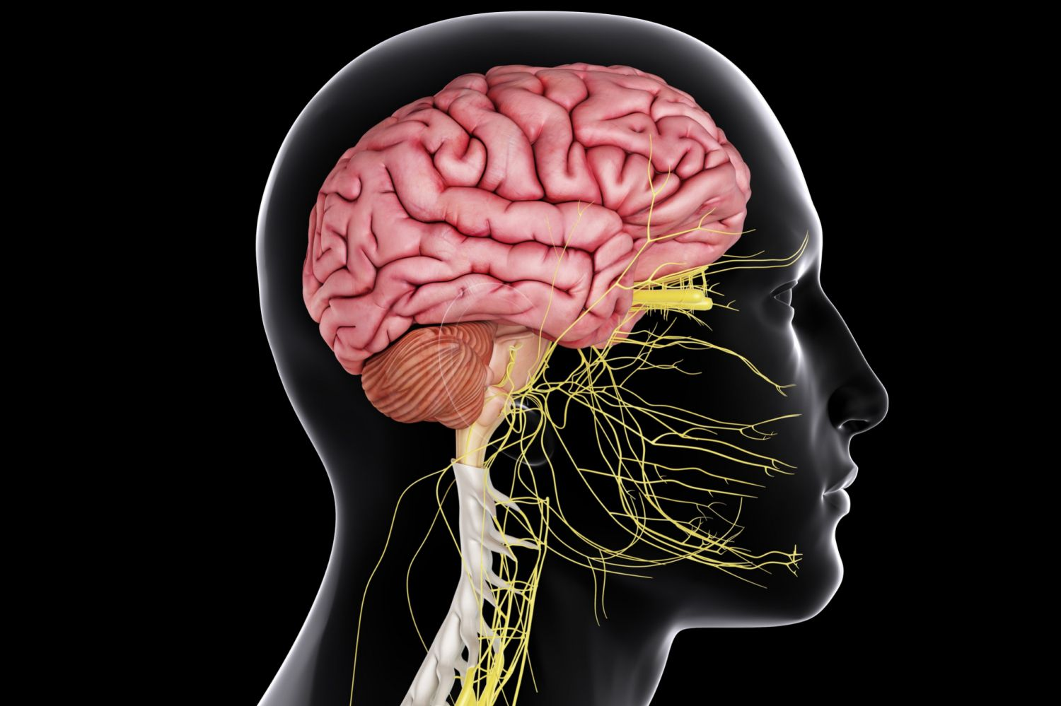 Functions Of The Central Nervous System