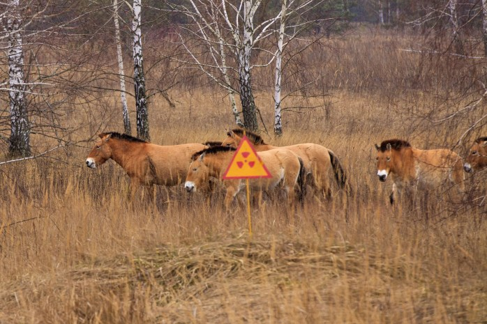 Przewalski's horse, which inhabited the Chernobyl zone. After 20 years the population has grown, and now they gallop on radioactive territories.