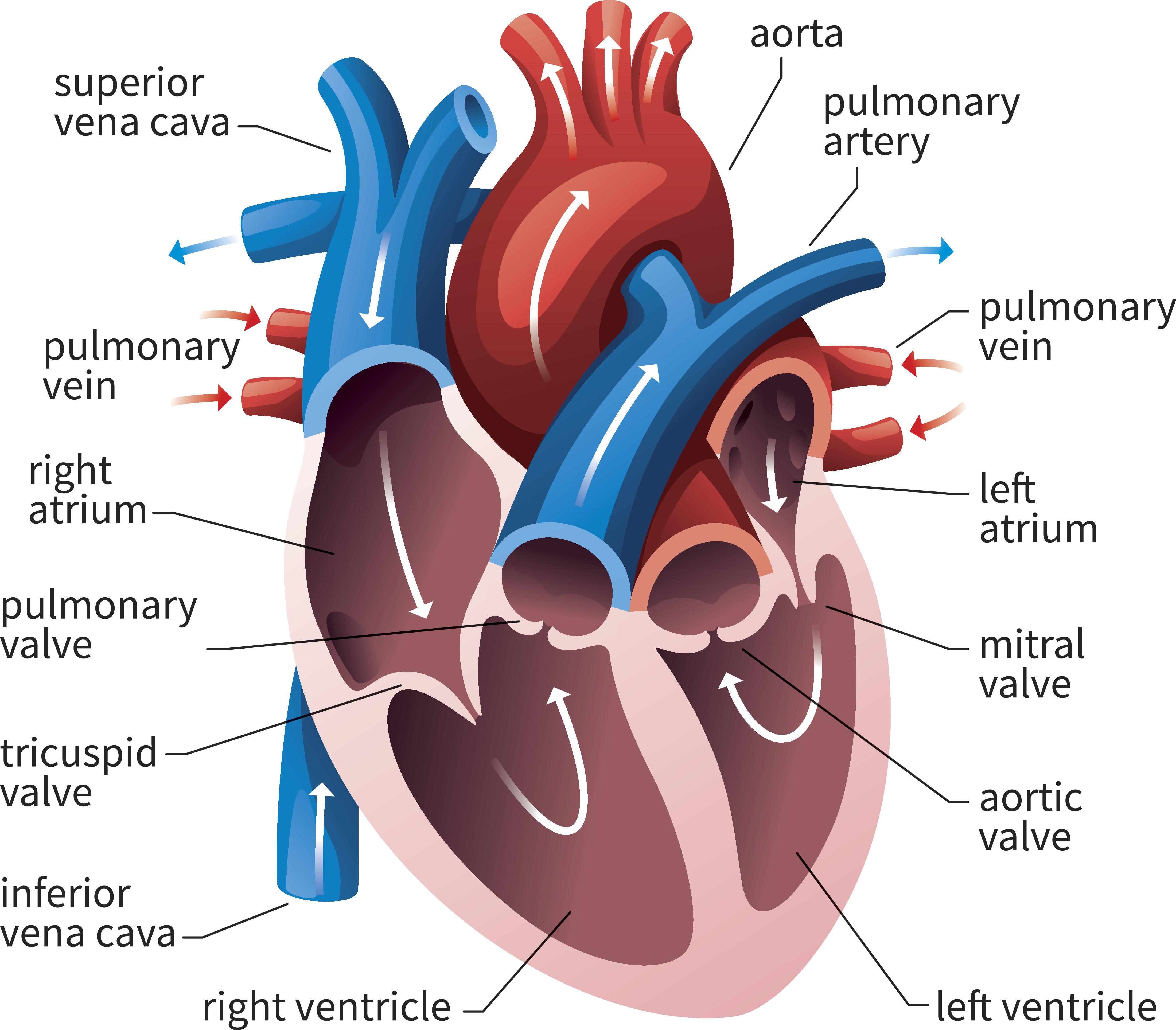Av And Semilunar Heart Valves