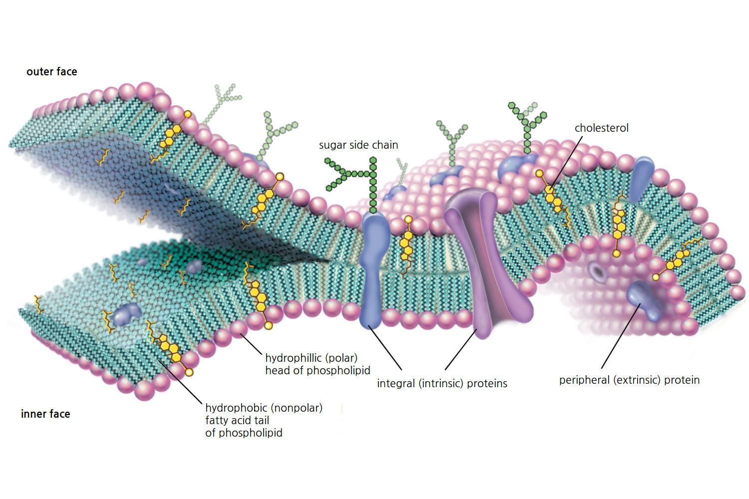 A Definition Of Endocytosis With Steps And Types