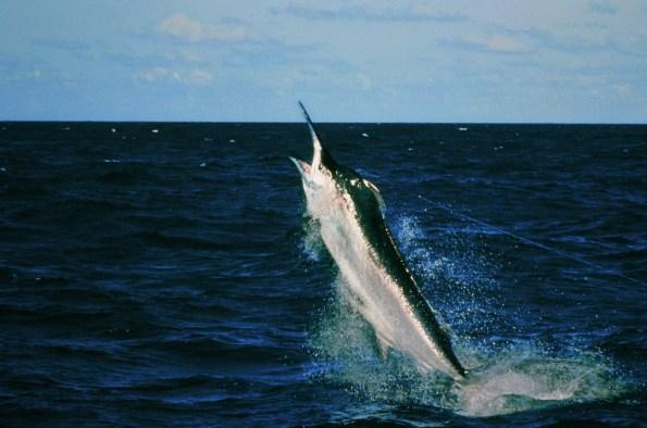 Marlin preto (Makaira indica) pegou na linha de pesca