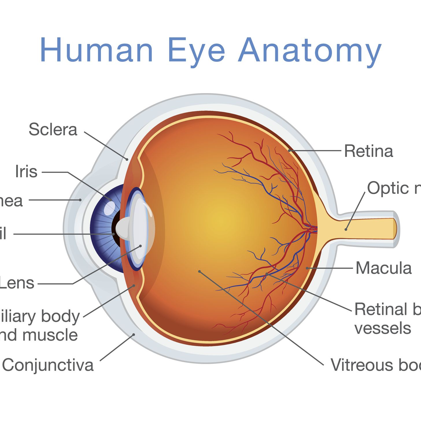 Simple Parts Of The Eye Diagram For Kids