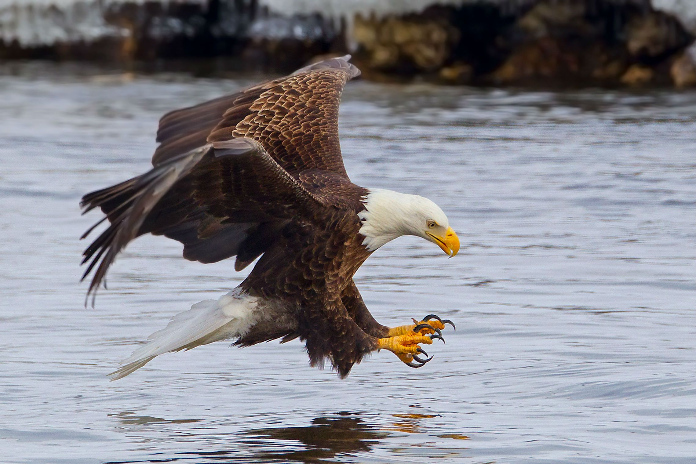 The Bald Eagle Bird Of The Free In The Land Of The Brave