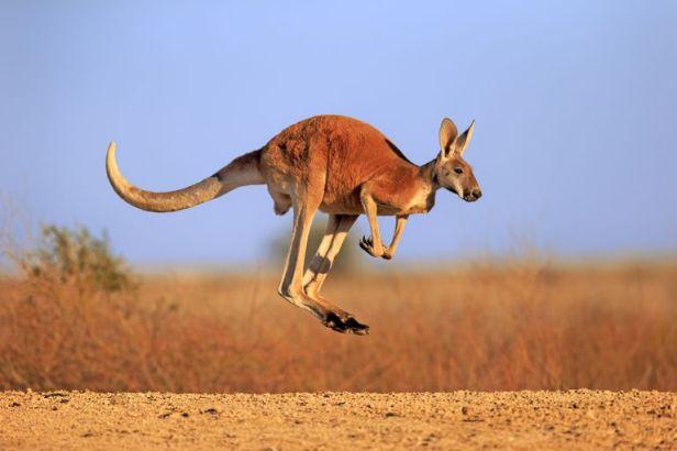 Image result for Kangaroo