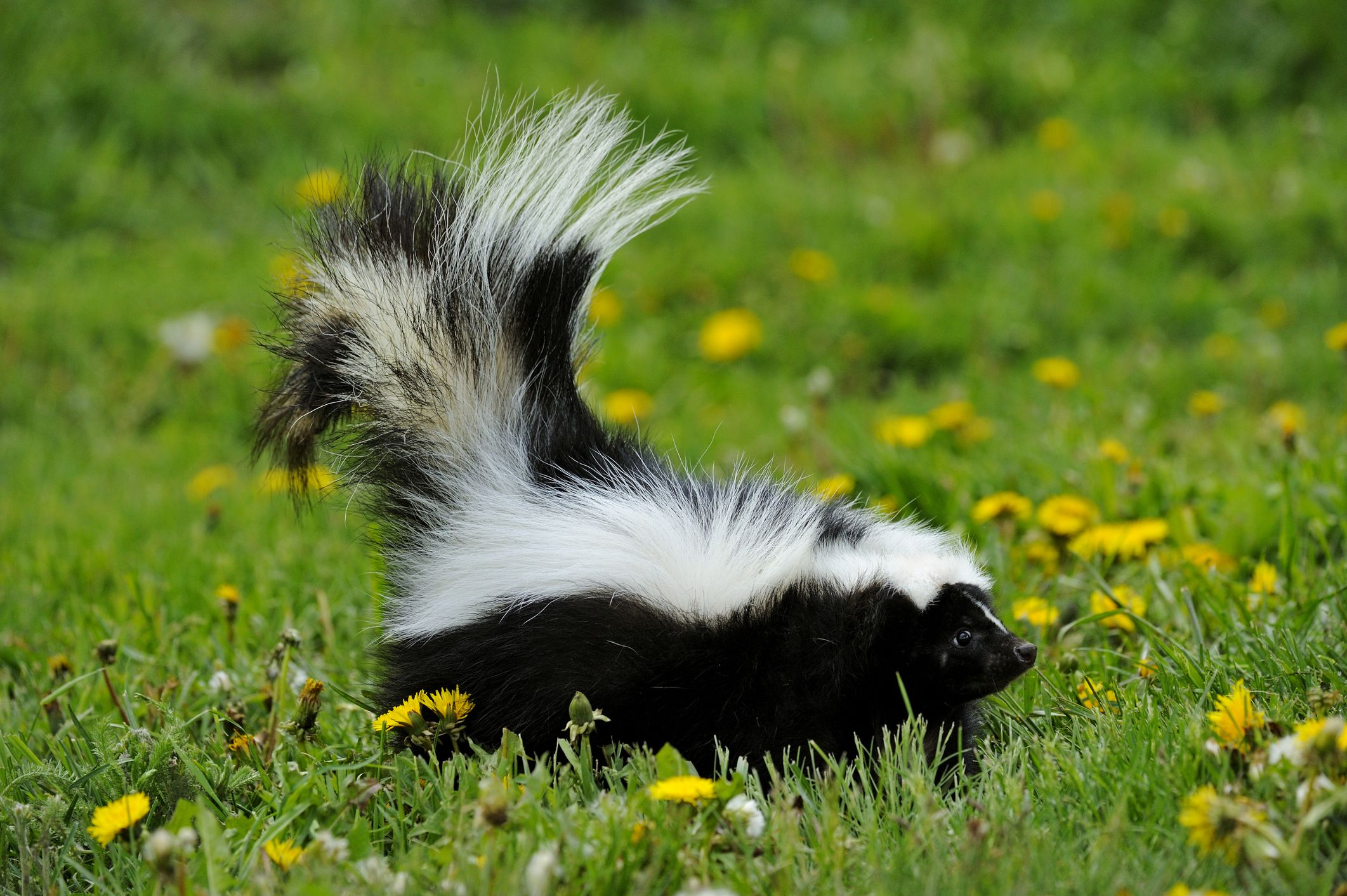 Oxiclean To Remove Skunk Odor