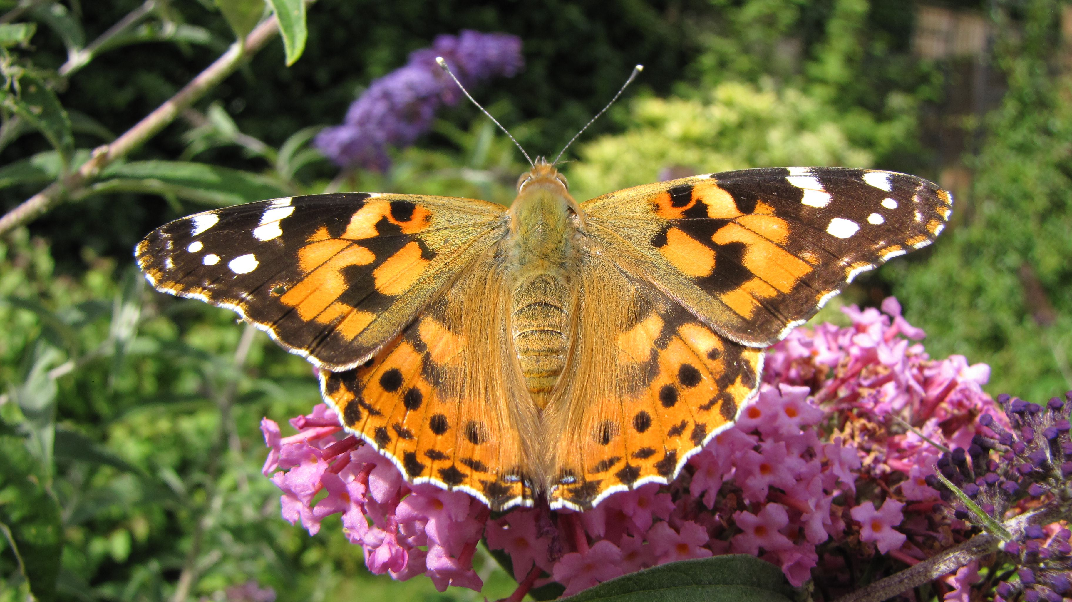 10 Fascinating Facts About Painted Lady Butterflies